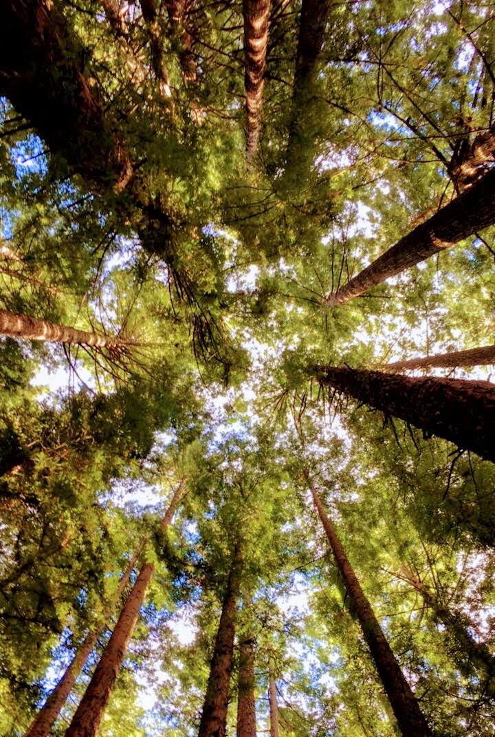 redwood1